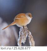 Купить «Bearded tit (Panurus biarmicus) female fluffed up feathers in cold winter, Helsinki Finland January», фото № 25628677, снято 19 февраля 2019 г. (c) Nature Picture Library / Фотобанк Лори