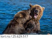 Дикие медведи играют друг с другом в озере на Камчатке (2016 год). Редакционное фото, фотограф Николай Винокуров / Фотобанк Лори
