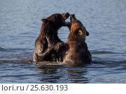 Дикие медведи играют друг с другом на озере в Камчатском крае, Россия (2016 год). Редакционное фото, фотограф Николай Винокуров / Фотобанк Лори