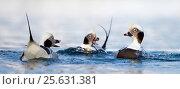 Купить «Long-tailed duck (Clangula hyemalis) three males swimming and interacting, Vardo, Norway March», фото № 25631381, снято 23 июля 2018 г. (c) Nature Picture Library / Фотобанк Лори