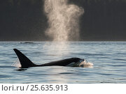 Купить «Killer whale / orca (Orcinus orca) transient male blowing at surface, Strait of George, between Washington State, USA, and the Gulf Islands on the east...», фото № 25635913, снято 22 июля 2019 г. (c) Nature Picture Library / Фотобанк Лори