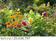 Купить «Цветы георгина и рудбекии на дачном участке», эксклюзивное фото № 25638797, снято 17 августа 2012 г. (c) Алёшина Оксана / Фотобанк Лори