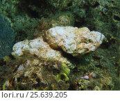 Камень-рыба, остров Бали, Ловина риф, Индонезия. Стоковое фото, фотограф Александр Огурцов / Фотобанк Лори