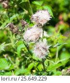 Купить «Чертополох отцветший (Carduus)», фото № 25649229, снято 16 августа 2009 г. (c) Алёшина Оксана / Фотобанк Лори