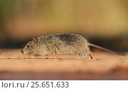 Hispid Cotton Rat (Sigmodon hispidus), adult at waters edge running, South Texas, USA. May. Стоковое фото, фотограф Rolf Nussbaumer / Nature Picture Library / Фотобанк Лори