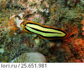 Плоский червь, остров Бали, Ловина риф, Индонезия. Стоковое фото, фотограф Александр Огурцов / Фотобанк Лори