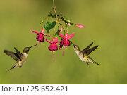 Купить «Black-chinned hummingbird (Archilochus alexandri), adult male and female feeding on blooming Fuchsia, Hill Country, Texas, USA. April», фото № 25652421, снято 21 августа 2018 г. (c) Nature Picture Library / Фотобанк Лори