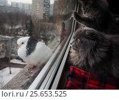 Купить «Cats looking at a pigeon through the window», фото № 25653525, снято 15 ноября 2019 г. (c) Ирина Козорог / Фотобанк Лори