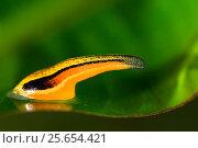 Tiger leech (Haemadipsa picta) in vegetation, Sabah, Borneo. Стоковое фото, фотограф Christophe Courteau / Nature Picture Library / Фотобанк Лори