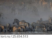 Plain / Burchell's zebras (Equus burchelli) drinking in the Boteti River amidst dust, Kalahari Desert. Botswana. Стоковое фото, фотограф Christophe Courteau / Nature Picture Library / Фотобанк Лори