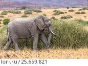 Купить «Desert dwelling African elephant (Loxodonta africana) feeding on tall grass, Damaraland, Namibia», фото № 25659821, снято 15 июля 2020 г. (c) Nature Picture Library / Фотобанк Лори