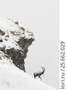 Купить «Alpine ibex (Capra ibex) male in deep snow on a ridge during heavy snowfall, Gran Paradiso National Park, the Alps, Italy. January Highly commended in...», фото № 25662029, снято 26 февраля 2020 г. (c) Nature Picture Library / Фотобанк Лори