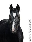 Вороная лошадь с уникальной отметиной в форме сердца на белом фоне. Стоковое фото, фотограф Абрамова Ксения / Фотобанк Лори