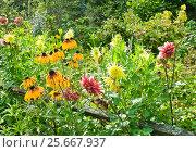 Купить «Цветы георгина и рудбекии на дачном участке», эксклюзивное фото № 25667937, снято 17 августа 2012 г. (c) Алёшина Оксана / Фотобанк Лори