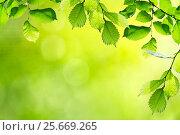 Fresh and green leaves. Стоковое фото, фотограф Валерия Лузина / Фотобанк Лори