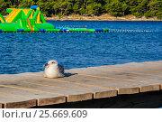 Купить «Морская чайка отдыхает на деревянном пирсе в начале летнего дня. Хорватия», фото № 25669609, снято 27 августа 2016 г. (c) Устенко Владимир Александрович / Фотобанк Лори