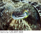 Купить «Eye of a broadclub cuttlefish, Sepia latimanus, Bali, Indonesia, Asia», фото № 25697569, снято 26 марта 2014 г. (c) mauritius images / Фотобанк Лори