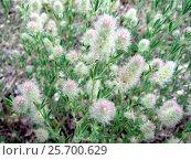 Купить «Клевер пашенный (Trifolium arvense)», фото № 25700629, снято 17 июня 2012 г. (c) Светлана Кириллова / Фотобанк Лори