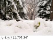 Купить «Подснежники под снежным покровом в лесу», эксклюзивное фото № 25701341, снято 20 февраля 2018 г. (c) Svet / Фотобанк Лори