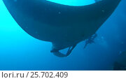 Купить «Giant oceanic manta ray - Manta birostris, Floats in blue water over a coral reef, Oceania, Indonesia, Southeast Asia», видеоролик № 25702409, снято 7 марта 2017 г. (c) Некрасов Андрей / Фотобанк Лори