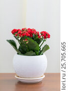 Купить «Red flowering Kalanchoe in white pot», фото № 25705665, снято 4 марта 2017 г. (c) Володина Ольга / Фотобанк Лори