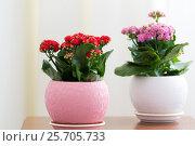 Купить «Red and pink Kalanchoe in interior», фото № 25705733, снято 4 марта 2017 г. (c) Володина Ольга / Фотобанк Лори