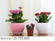 Купить «Red and pink Kalanchoe and cactus», фото № 25705805, снято 4 марта 2017 г. (c) Володина Ольга / Фотобанк Лори