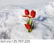 Купить «Красные тюльпаны стоят во льду заснеженного озера в день 8 Марта», фото № 25707225, снято 8 марта 2017 г. (c) Виктория Катьянова / Фотобанк Лори