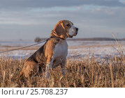 Portrait of a Beagle on a spring walk. Стоковое фото, фотограф Алексей Андросов / Фотобанк Лори
