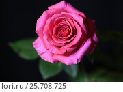 Купить «Роза на черном фоне», эксклюзивное фото № 25708725, снято 8 марта 2017 г. (c) Яна Королёва / Фотобанк Лори
