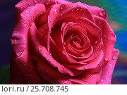 Купить «Розовая роза», фото № 25708745, снято 8 марта 2017 г. (c) Яна Королёва / Фотобанк Лори
