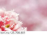Купить «Розовый тюльпан на розовом фоне», фото № 25708801, снято 17 мая 2012 г. (c) Наталья Волкова / Фотобанк Лори