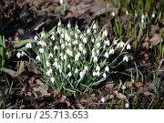 Подснежник белоснежный (Galanthus nivalis ssp nivalis) Стоковое фото, фотограф Борис Плеханов / Фотобанк Лори