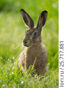 Купить «Brown hare (Lepus europaeus) adult in arable field, Scotland, August.», фото № 25717881, снято 20 ноября 2017 г. (c) Nature Picture Library / Фотобанк Лори