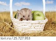 Купить «Hedgehog in a basket with apples», фото № 25727953, снято 7 марта 2017 г. (c) Алексей Кузнецов / Фотобанк Лори