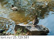 Утки на пруду. Стоковое фото, фотограф Евгений Талашов / Фотобанк Лори