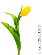 Yellow tulip with leave on a white backgroun. Стоковое фото, фотограф Валерия Лузина / Фотобанк Лори