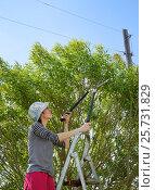 Девушка на стремянке обрезает секатором ветви ивы (2014 год). Редакционное фото, фотограф Юлия Дьякова / Фотобанк Лори