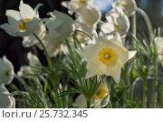 Купить «Прострел (Pulsatilla vulgaris, сон трава). Цветки крупно», фото № 25732345, снято 14 мая 2016 г. (c) Gaft Eugen / Фотобанк Лори