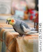 Попугай корелла сидит на столе. Стоковое фото, фотограф Dmitry29 / Фотобанк Лори