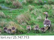 Купить «Graugans, die flugunfaehigen Jungvoegel werden Goessel genannt - (Photo Ganter mit Goesseln) / Greylag Goose, the chick is a gosling - (Graylag Goose - Photo gander with young) / Anser anser», фото № 25747713, снято 23 июля 2019 г. (c) age Fotostock / Фотобанк Лори