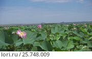 Купить «Thickets of blooming lotus flowers on lake», видеоролик № 25748009, снято 28 февраля 2017 г. (c) Михаил Коханчиков / Фотобанк Лори