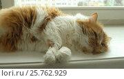 Купить «Бело-рыжий длинношерстный кот отдыхает на подоконнике», видеоролик № 25762929, снято 15 марта 2017 г. (c) Терешко Сергей / Фотобанк Лори