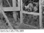 Купить «Radio-collared Male Pine marten (Martes martes) emerging from a temporary soft release cage after dark during a reintroduction project by the Vincent Wildlife...», фото № 25776389, снято 15 августа 2018 г. (c) Nature Picture Library / Фотобанк Лори