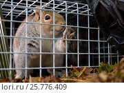 Купить «Grey Squirrel (Sciurus carolinensis) caught in a live capture trap set to monitor the squirrel population in the area where their predators, Pine martens...», фото № 25776409, снято 24 октября 2018 г. (c) Nature Picture Library / Фотобанк Лори