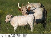 Купить «White Chillingham cattle, rare breed, Chillingham Park, Northumberland, UK, July 2015», фото № 25784181, снято 12 июля 2020 г. (c) Nature Picture Library / Фотобанк Лори