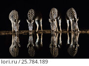 Купить «Plains zebra (Equus quagga) drinking at waterhole at night, Zimanga private game reserve, KwaZulu-Natal, South Africa, September», фото № 25784189, снято 12 июля 2020 г. (c) Nature Picture Library / Фотобанк Лори