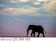 African elephant (Loxodonta Africana) bull silhouetted on the horizon at dusk, Zimanga private game reserve, KwaZulu-Natal, South Africa, September. Стоковое фото, фотограф Ann  & Steve Toon / Nature Picture Library / Фотобанк Лори