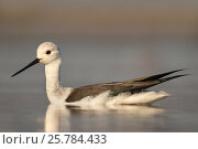 Blackwinged stilt (Himantopus himantopus), Zimanga private game reserve, KwaZulu-Natal, South Africa, June. Стоковое фото, фотограф Ann  & Steve Toon / Nature Picture Library / Фотобанк Лори