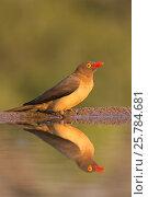 Купить «Redbilled oxpecker (Buphagus erythrorhynchus), Zimanga private game reserve, KwaZulu-Natal, South Africa, June», фото № 25784681, снято 12 июля 2020 г. (c) Nature Picture Library / Фотобанк Лори